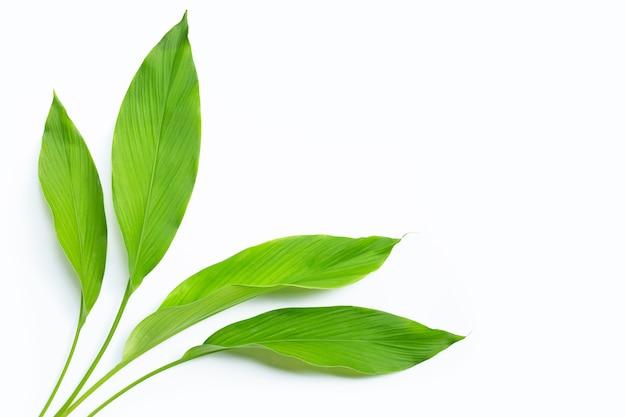Zielone liście kurkumy na białym tle.