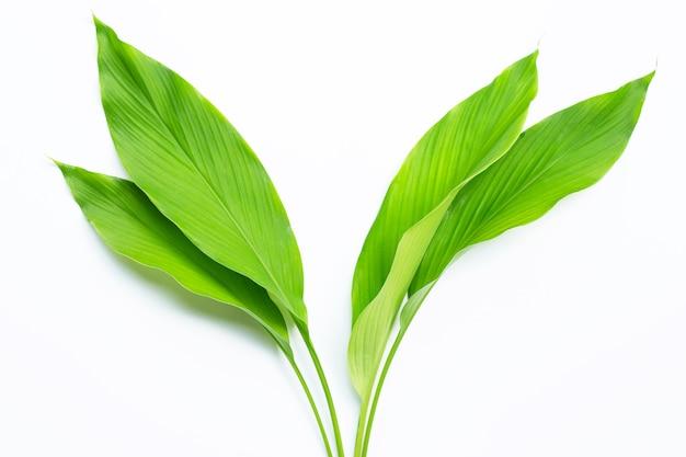 Zielone liście kurkumy na białym tle