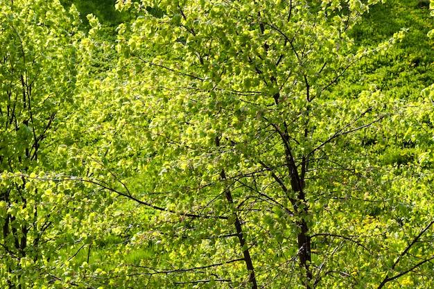 Zielone liście lipy oświetlone wiosennym słońcem