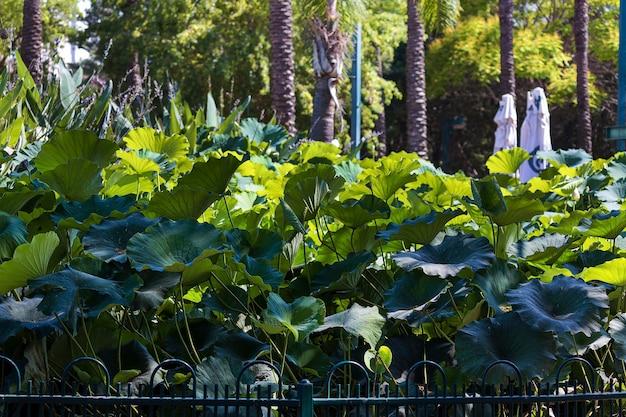 Zielone liście lotosu w ogrodzie. żyłki liści na dużych zielonych liściach lotosu. nelumbonaceae to rodzina wodnych roślin kwiatowych. duża lilia wodna w parku. nelumbo to rodzaj roślin wodnych