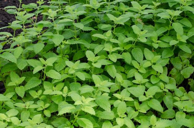 Zielone liście melissa officinalis - melisa w ogrodzie.