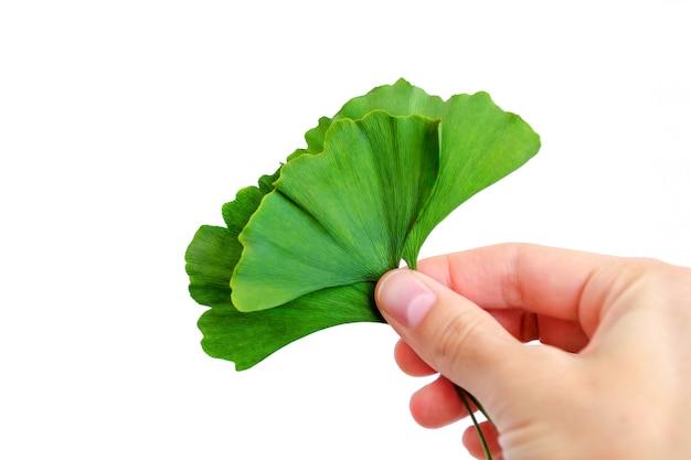 Zielone liście miłorzębu japońskiego w ręku