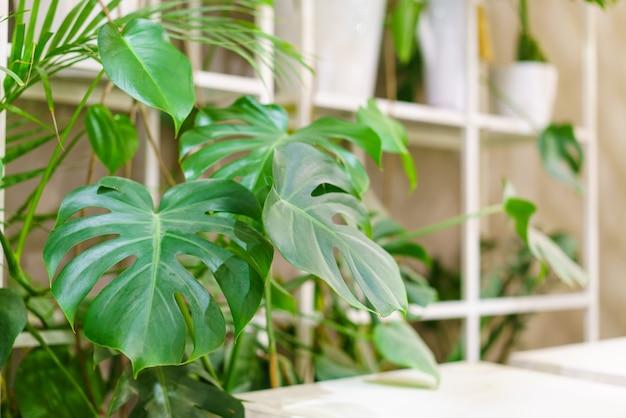 Zielone liście monstery lub monstera deliciosa w ciemnych kolorach tła lasu deszczowego lub zielonych liści...