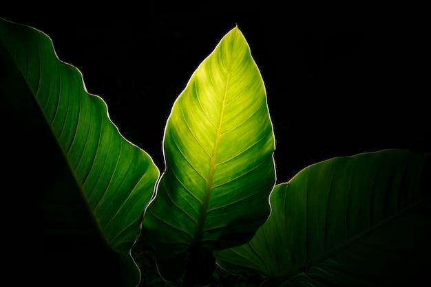 Zielone liście na czarnym tle.