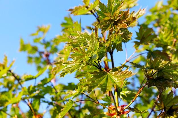 Zielone liście na drzewach klonowych w sezonie jesiennym.