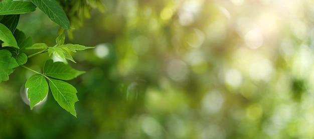 Zielone liście na naturalnym zielonym tle bokeh w słońcu