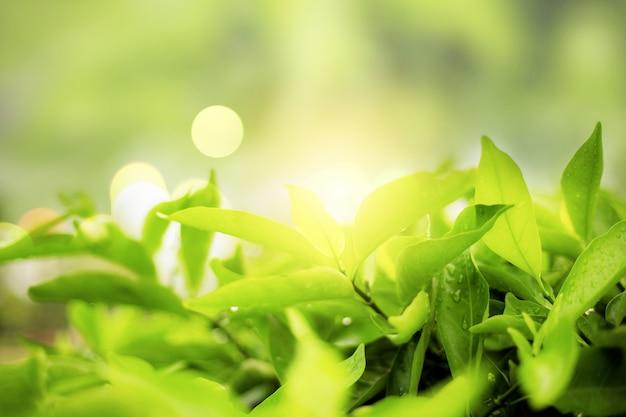 Zielone liście na słońcu.