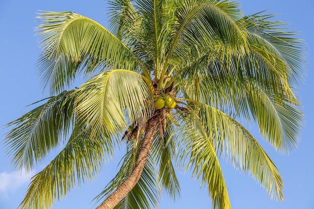 Zielone liście palmy kokosowej na tle błękitnego nieba, tajlandia. koncepcja podróży przyrodniczych