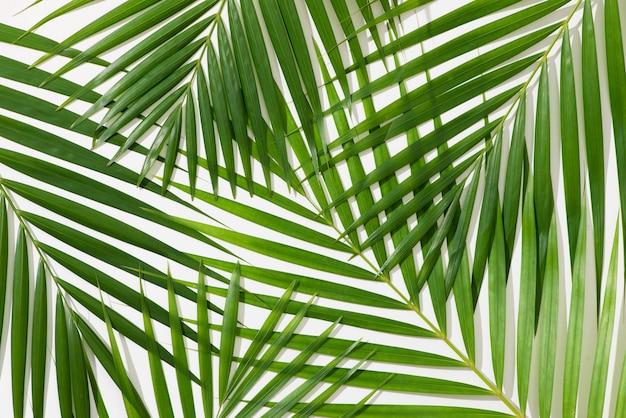 Zielone liście palmy na białym tle