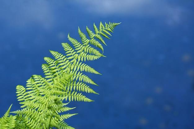 Zielone liście paproci na tle błękitnej wody jeziora