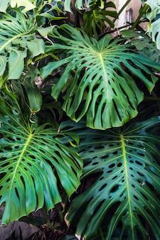Zielone liście pięknej rośliny filodendronu monstera rosną dziko w lesie tropikalnym
