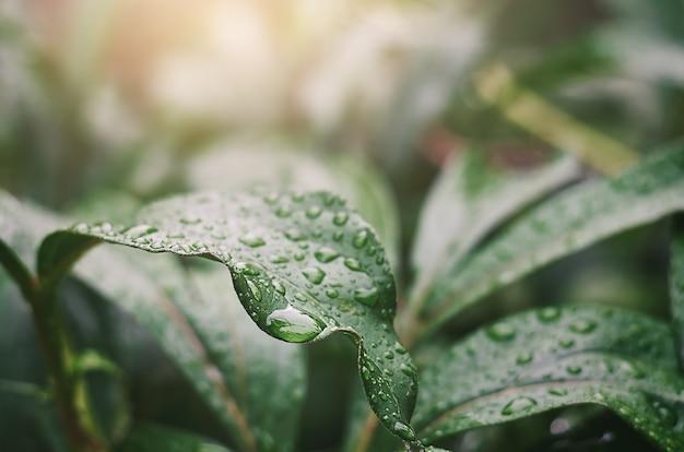 Zielone liście piwonii z kroplami deszczu