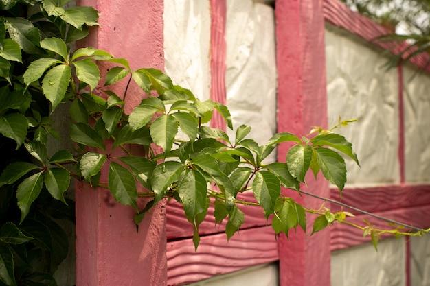 Zielone liście rośliny monstera rosnące dziko