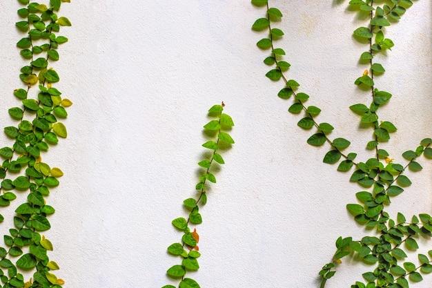 Zielone liście rośliny pnącej na jasnej, starej ścianie z miejscem na kopię