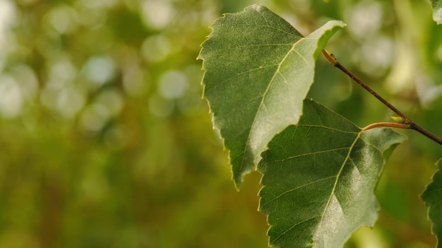 Zielone liście. selektywne skupienie. słońce, sierpień. spacer po lesie. drzewa pięknie brzmią na wietrze. przyroda jest wspaniała.