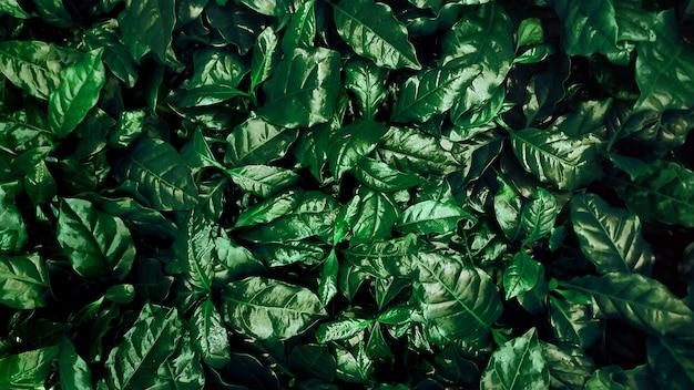 Zielone liście tło roślin kawy. widok z góry