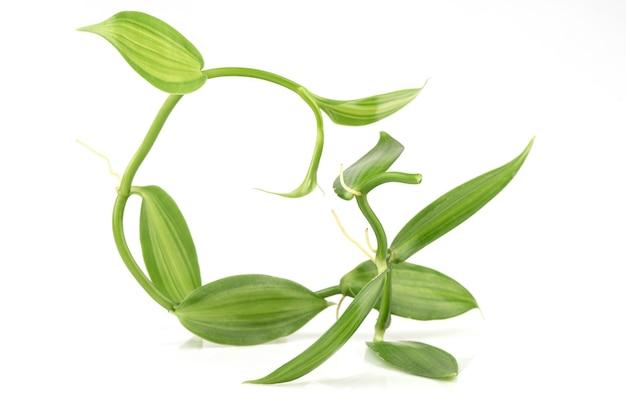 Zielone liście wanilii i gałęzi na białym tle.