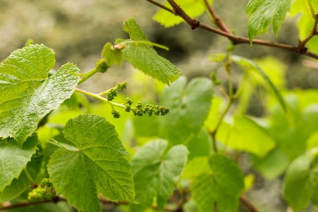 Zielone liście winogron i zbliżenie ziarna. lato lub wiosna sezon tło z liści winorośli. koncepcja natury