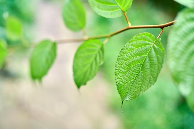 Zielone liście winorośli w słoneczny dzień w winnicy