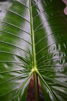 Zielone liście wzór tekstury gigantyczny liść taro araceae rośliny wodne chwasty w lesie tropikalnym - liść słonia usznego alocasia indica
