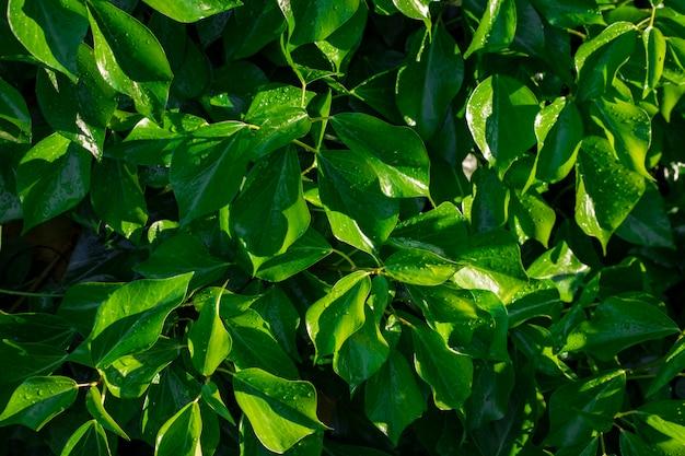Zielone liście z kroplami rosy