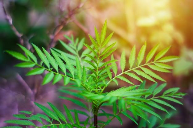 Zielone liście ze spiczastymi końcówkami wyglądają jak liście konopi w tajlandii.