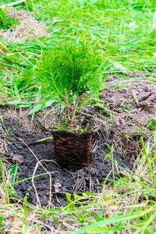Zielone małe drzewo iglaste kiełkować z doniczki z ziemią, ziemia na tle przyrody trawa przygotowuje się do sadzenia w ogrodzie, lesie, parku. koncepcja ekologiczna, ekologiczna, ekologiczna.