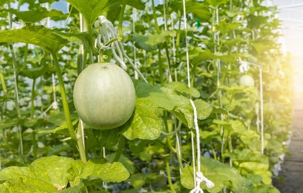 Zielone melony rosnące w uprawianej szklarni z naturalnym światłem słonecznym
