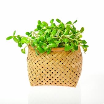 Zielone młode sadzonki słonecznika w plastikowej torbie