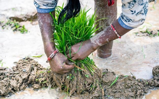Zielone nasiona ryżu do sadzenia pola ryżowego w kathmandu nepal