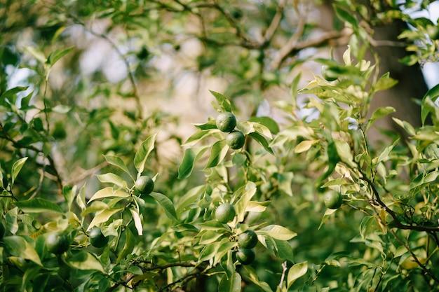Zielone niedojrzałe mandarynki na gałęziach drzew w ogrodzie