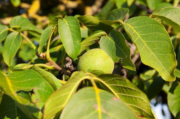 Zielone niedojrzałe okrągłe orzechy włoskie podczas wzrostu, zbliżenie latem lub wczesną jesienią