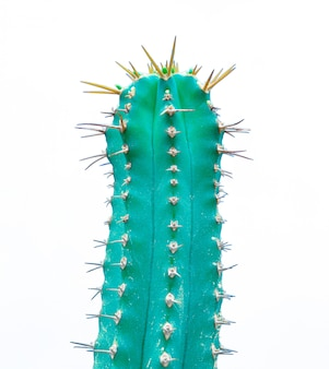 Zielone odmiany euphorbia kaktus na białym
