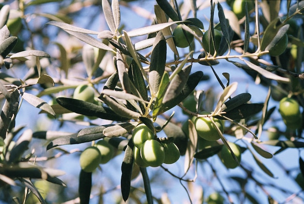 Zielone oliwki rosną na drzewie oliwnym