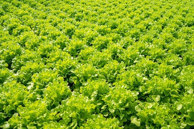 Zielone organiczne warzywa sałatkowe z wewnętrznej farmy warzywnej z kontrolowaną temperaturą.