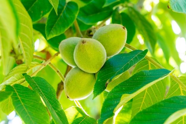 Zielone orzechy włoskie na drzewie. dużo orzechów na drzewie, natura