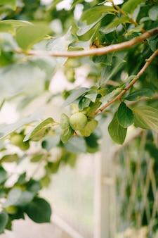 Zielone owoce persimmon na gałęziach drzewa