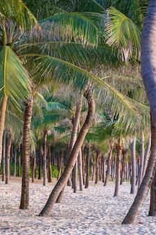 Zielone palmy kokosowe na białej, piaszczystej plaży