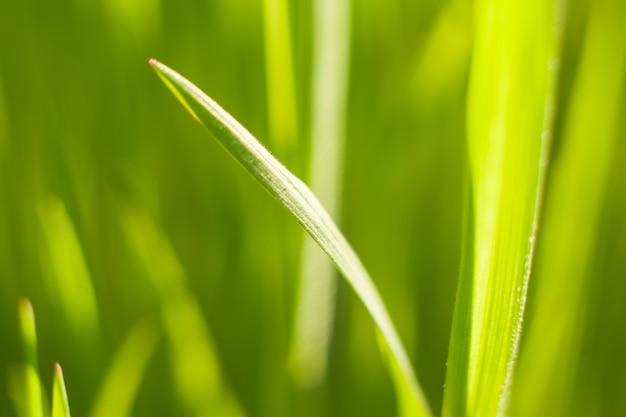 Zielone pędy wiosennej trawy w podświetlenie ciepłe światło słoneczne, strzał makro. tło wiosna i lato.