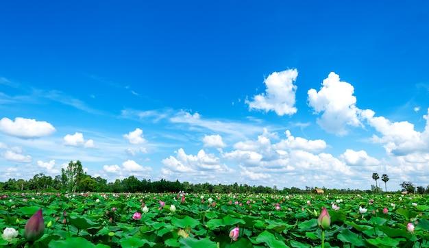 Zielone pola lotosu na tle nieba i białych chmur. tło natura