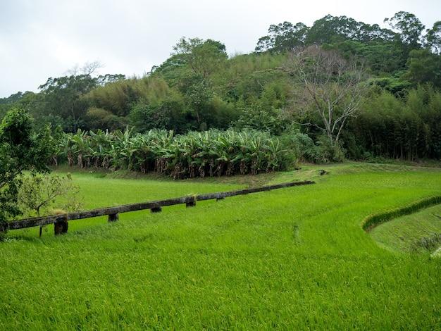 Zielone pola ryżowe, białe chmury, góry w hualien na tajwanie.