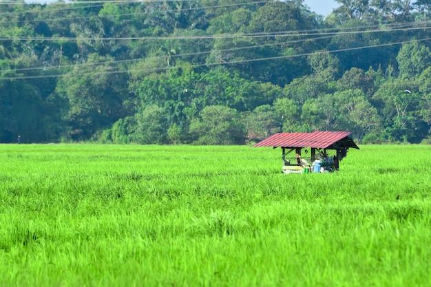 Zielone pola ryżowe i stara drewniana chata
