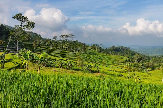 Zielone pola ryżowe na wyspie jawa, indonezja
