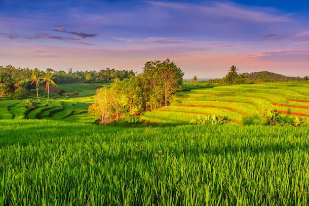 Zielone pola ryżowe rano ze świeci słońce, indonezja