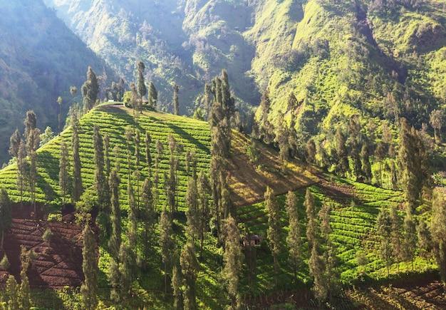 Zielone pola w indonezji. tropikalne krajobrazy.