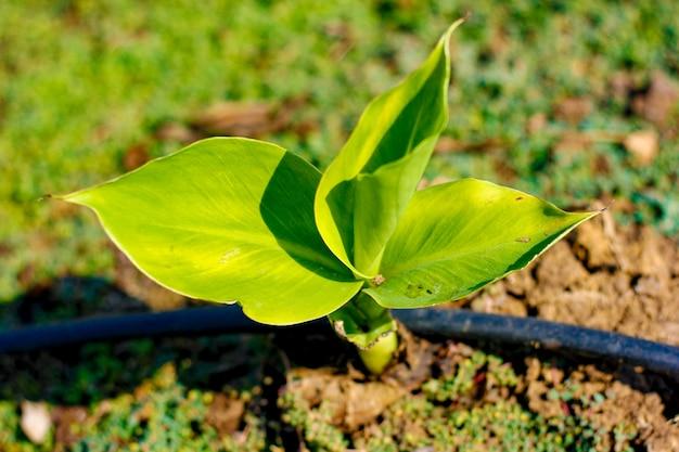 Zielone pole bananów