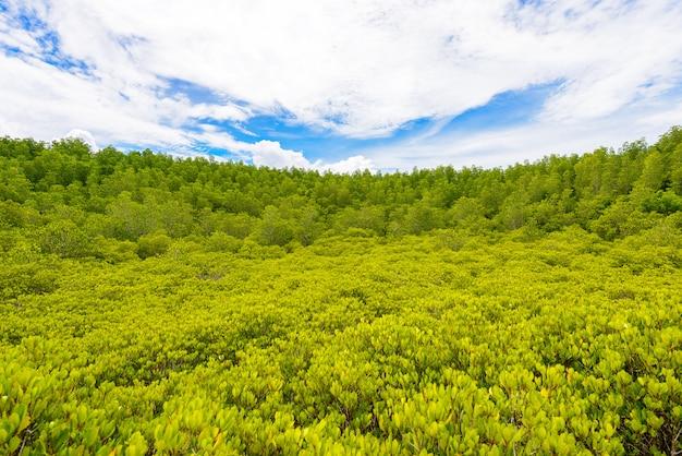 Zielone pole ceriops tagal w lasów namorzynowych