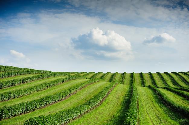 Zielone pole i błękitne niebo z lekkimi chmurami. rośliny czarnej porzeczki