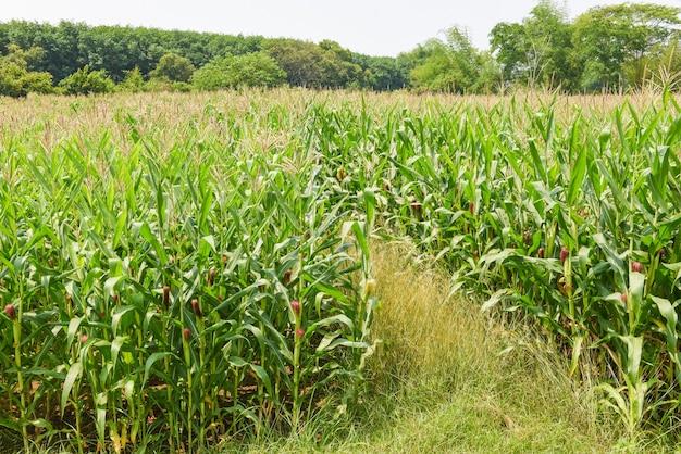 Zielone pole kukurydzy, kolby kukurydzy na polu kukurydzy w rolnictwie plantacji azji