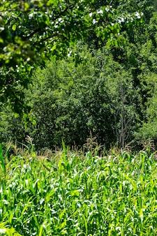 Zielone pole kukurydzy w savsat, artvin, blacksea - turcja